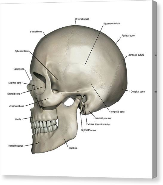 Skull Diagram Styloid Process Great Installation Of Wiring Diagram