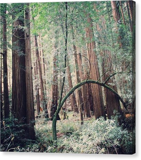 Redwood Forest Canvas Print - #laterlaterlatergram #muirwoods by Robyn Chell