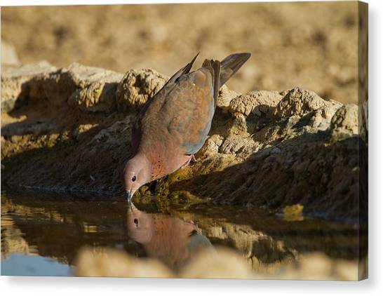 Negev Desert Canvas Print - Laughing Dove (spilopelia Senegalensis) by Photostock-israel