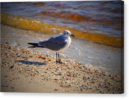 Feet Canvas Print - Laughing Gull by Doug Grey