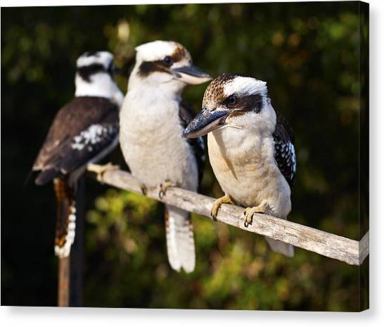 Laughing Kookaburras Canvas Print