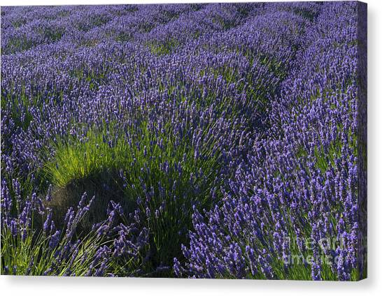 Lavendar Canvas Print - Lavender Rows by Mike Dawson
