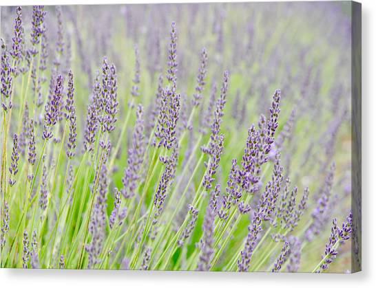 Lavender 1 Canvas Print by Rob Huntley