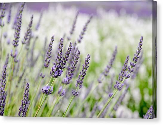 Lavender 3 Canvas Print