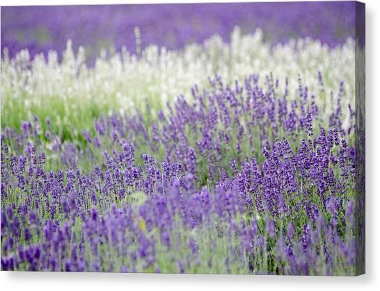 Lavender 4 Canvas Print by Rob Huntley