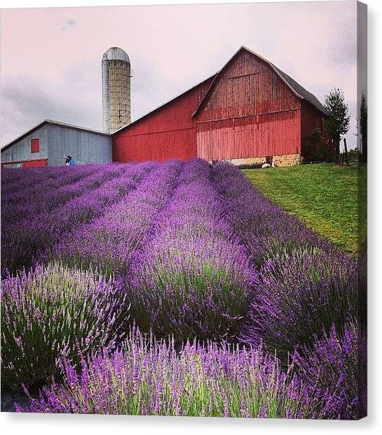 Barns Canvas Print - Lavender Farm Landscape by Christy Beckwith