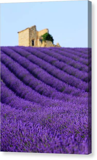 Lavender Field At Sunset Canvas Print by Republica