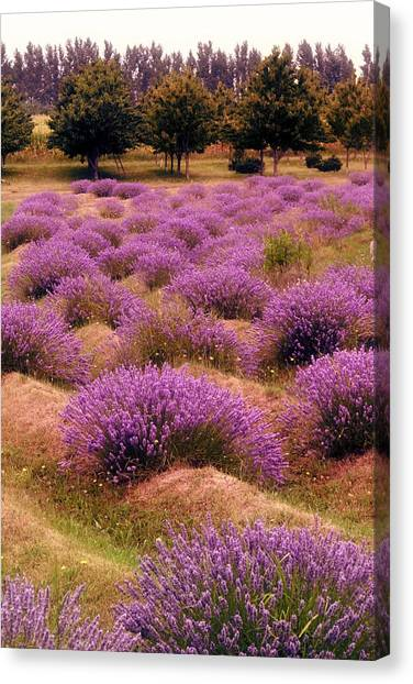 Lavender Fields 2 Canvas Print