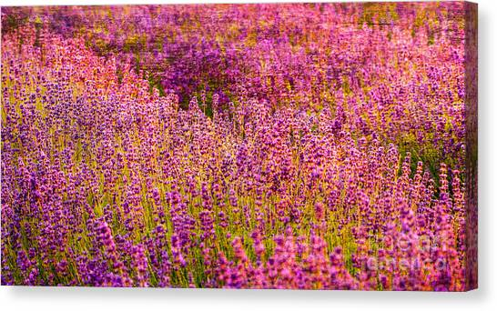 Lavender Fields Canvas Print by Courtney Trusty