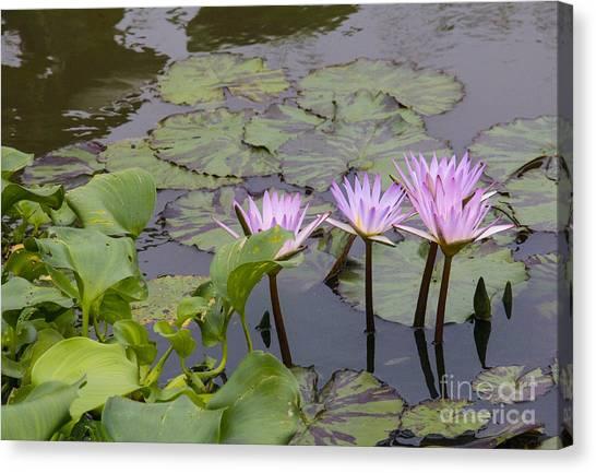 Lavender Waterlilies Canvas Print
