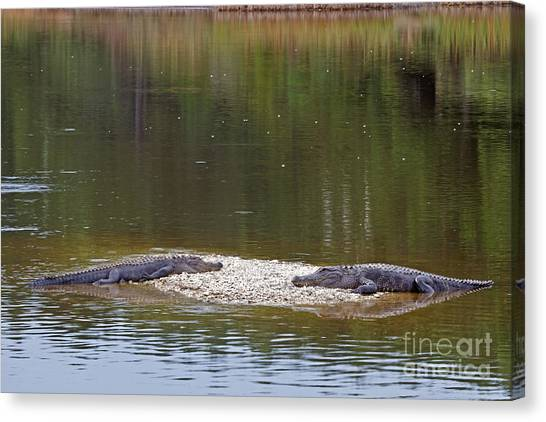 Lazy Alligators Canvas Print