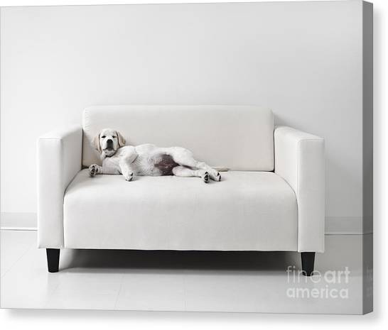 Yellow Labrador Canvas Print - Lazy Dog On The Sofa by Diane Diederich