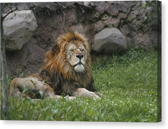 Lazy Lion Canvas Print