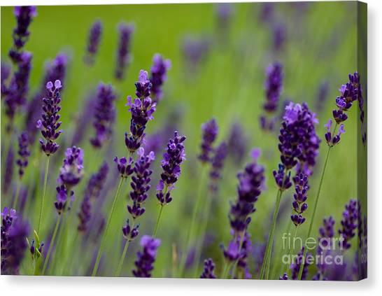 Lavendar Canvas Print - Lea Of Lavender by Venetta Archer