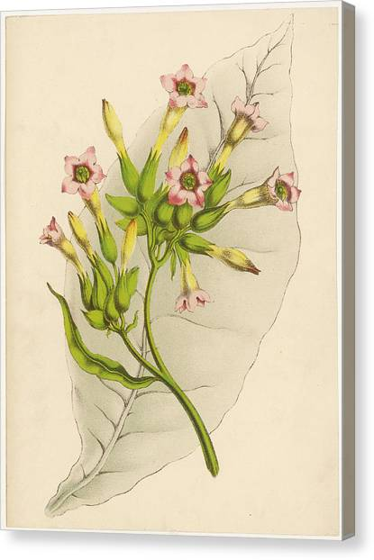 Leaf And Flowers Of A Tobacco  Plant Canvas Print by Mary Evans Picture Library