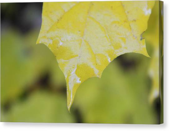 Leaf Drops Canvas Print by Dorothy Hall