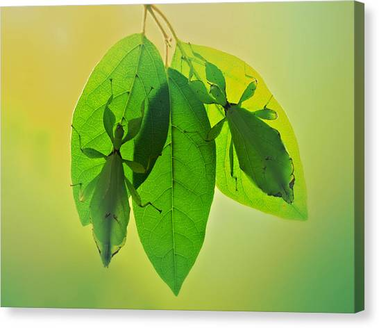 Camouflage Canvas Print - Leaf Insects 2 by Jimmy Hoffman