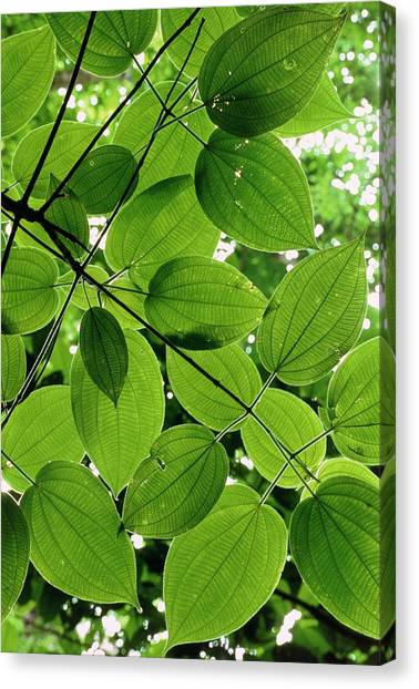 Tropical Rainforests Canvas Print - Leaf Pattern Of A Rainforest Tree by William Ervin/science Photo Library