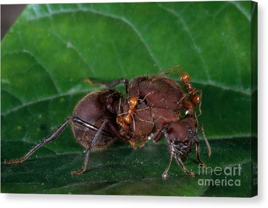 Monteverde Canvas Print - Leafcutter Ant Queen by Gregory G. Dimijian, M.D.