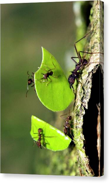 Amazon Rainforest Canvas Print - Leafcutter Ants by Tony Camacho/science Photo Library