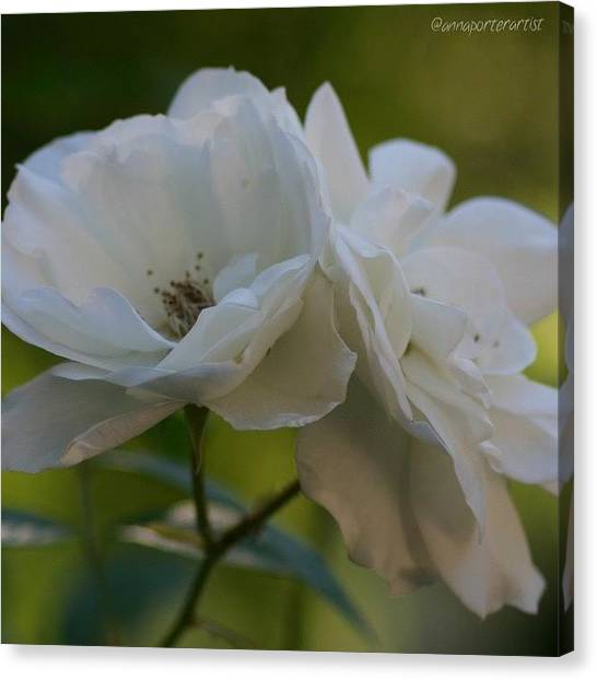 Metal Canvas Print - Lean On Me White Roses In Anna's Gardens by Anna Porter
