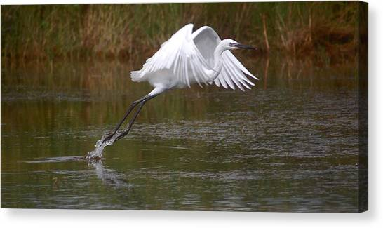 Leaping Egret Canvas Print
