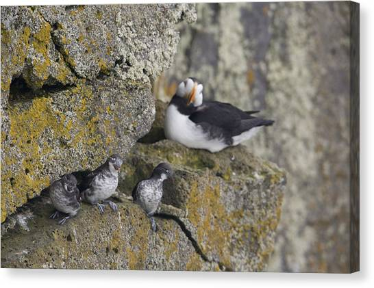 Auklets Canvas Print - Least Auklets Perched On A Narrow Ledge by Milo Burcham