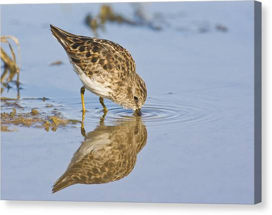 Least Sandpiper With A Reflection  Canvas Print