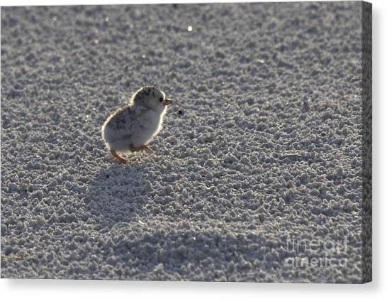 Least Tern Chick Canvas Print