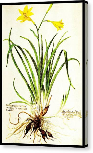 Canvas Print featuring the drawing Lemon Daylily Botanical by Rose Santuci-Sofranko