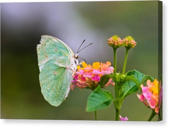Lemon Emigrant Butterfly Canvas Print