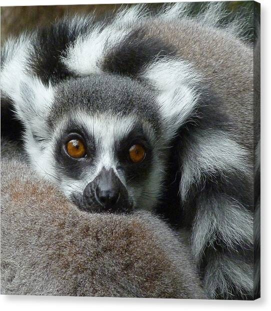 Lemur Leisure Time Canvas Print