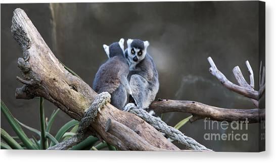 Lemur's Canvas Print by Shannon Rogers