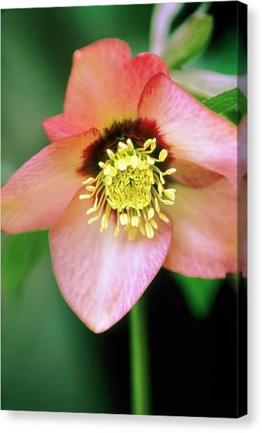Lenten Rose (helleborus Orientalis) Canvas Print by Stephen Harley-sloman/science Photo Library