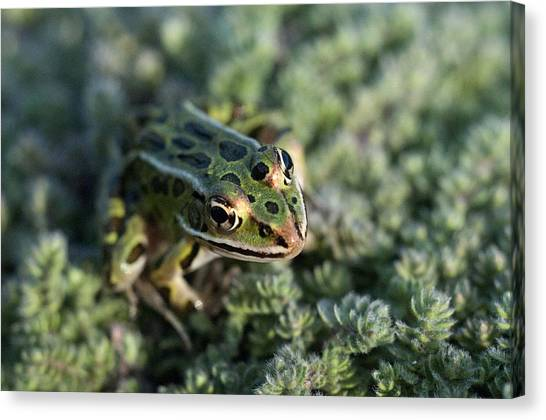 Leopard Frog In Wooly Thyme Canvas Print