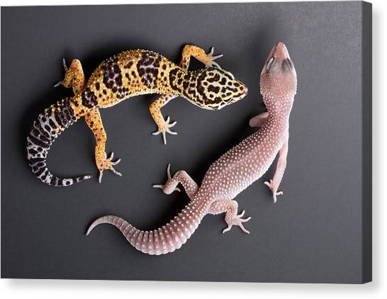 Leopard Gecko E. Macularius Collection Canvas Print