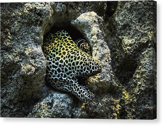 Underwater Caves Canvas Print - Leopard Moray Eel  by Garry Gay