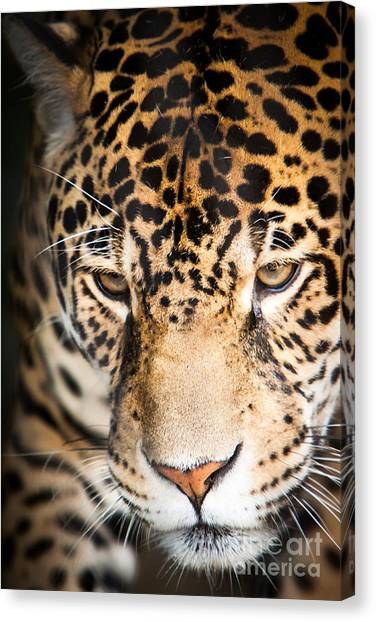 Canvas Print featuring the photograph Leopard Resting by John Wadleigh