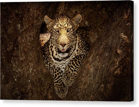 Leopard Resting On A Tree At Masai Mara Canvas Print by Ozkan Ozmen Photography