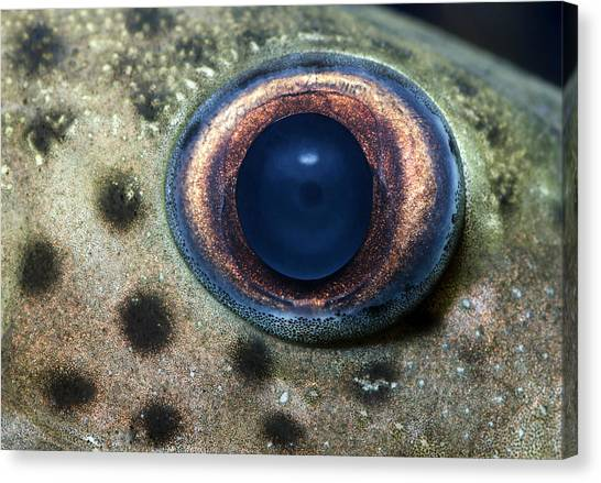Catfish Canvas Print - Leopard Sailfin Pleco Eye Abstract by Nigel Downer
