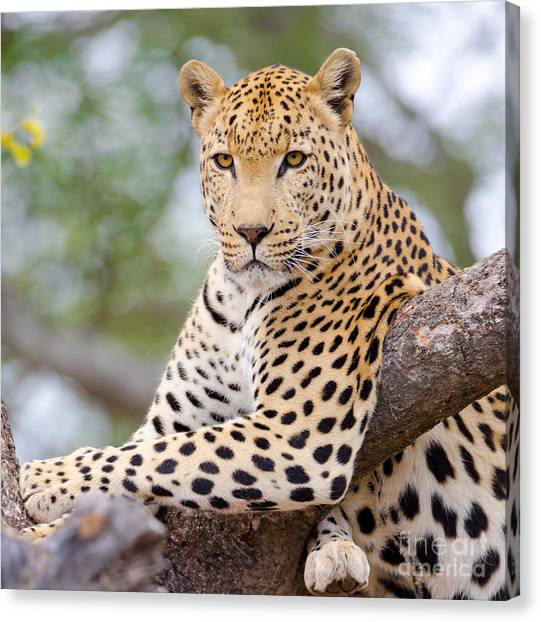 Leopard - South Africa Canvas Print by Birdimages Photography
