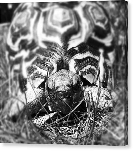 Tortoises Canvas Print - Leopard Tortoise by Hannah Bould MRCVS