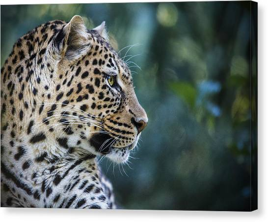 Leopard's Look Canvas Print