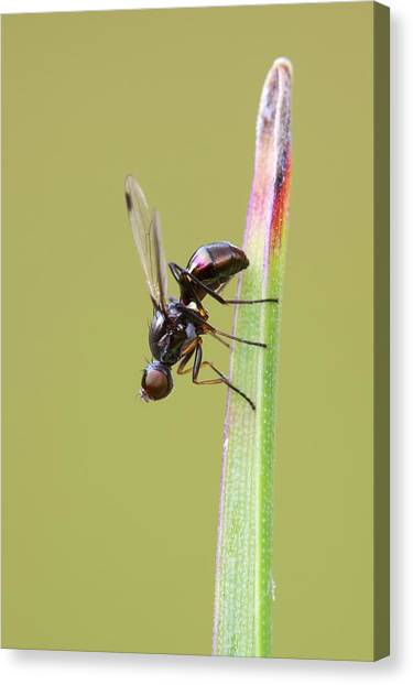 Ants Canvas Print - Lesser Dung Fly by Heath Mcdonald