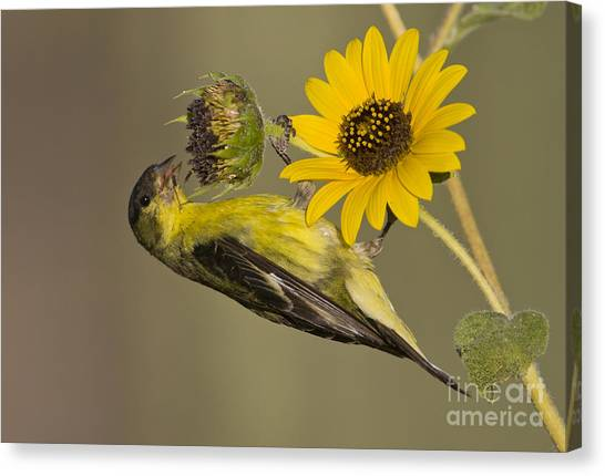 Lesser Goldfinch On Sunflower Canvas Print