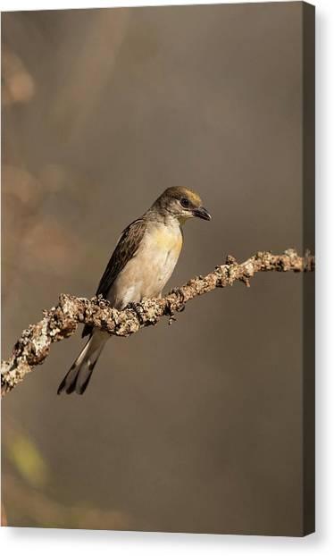 Cuckoos Canvas Print - Lesser Honeyguide by Tony Camacho