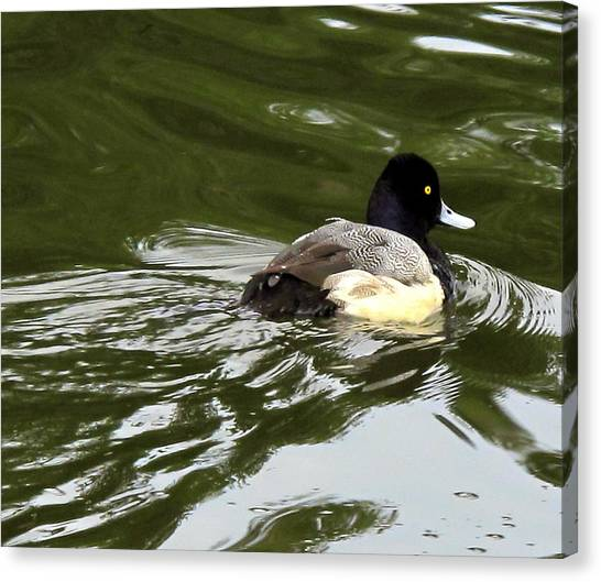 Lesser Scaup Canvas Print