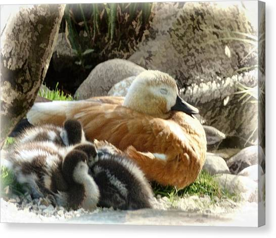 Let Sleeping Ducks Lie Canvas Print