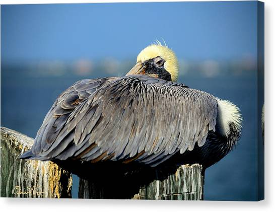 Let Sleeping Pelicans Lie Canvas Print