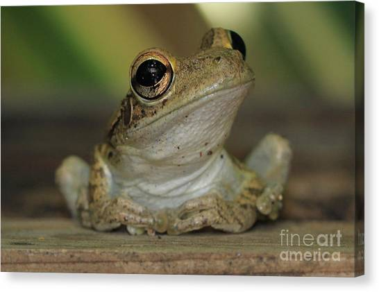 Let's Talk - Cuban Treefrog Canvas Print